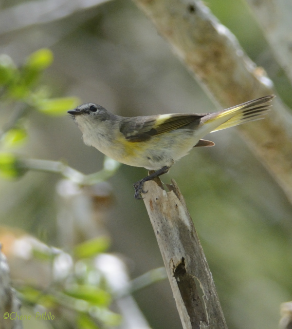 Migrant female American Redstart searches for water before departing Yucatan