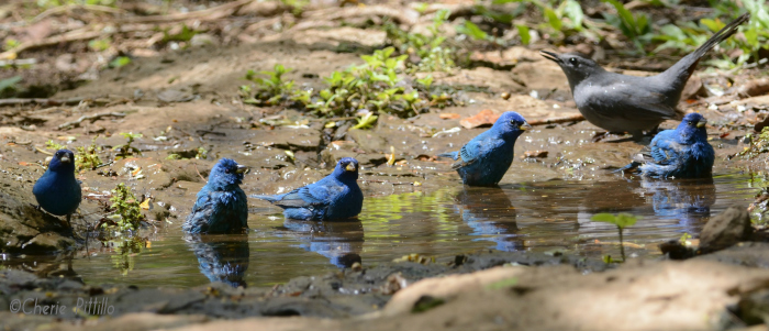 Migratory male Indigo Buntings stop by for a communal drink and bath while a Gray Catbird watches