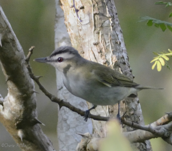 Red-eyed Vireo flits in and out to drink quickly