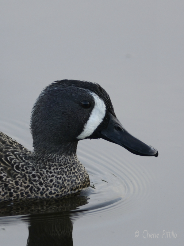 Side view of Blue-winged Teal illustrates crescent identification mark