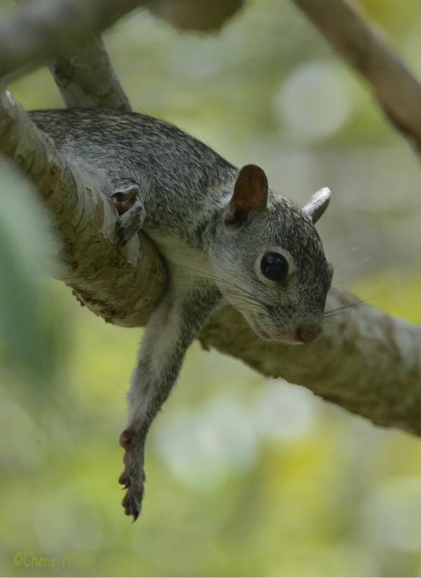The Gray Squirrel doesn't need a hammock to rest