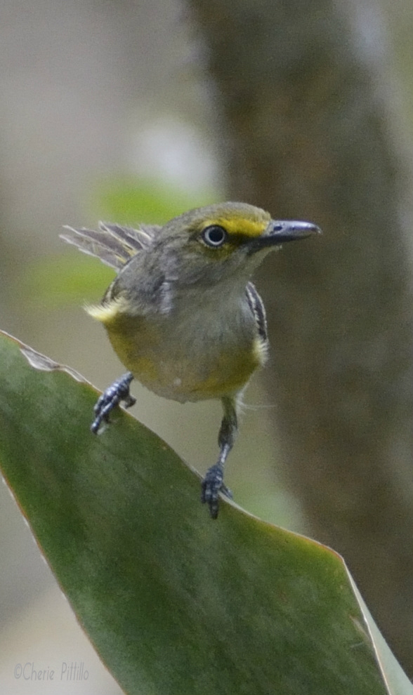White-eyed Vireo gulped water  quickly after it scouted for safety and then fled