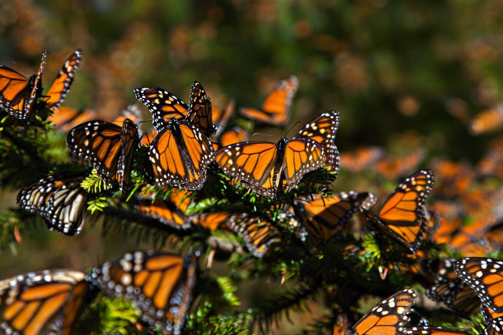 Monarch Butterfly Biosphere Reserve (Photo: Google)