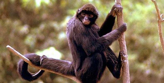 Spider Monkey (Photo: Mexico Desconocido)