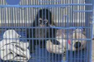 In Mexico a spider monkey costs 150,000 pesos (US$9,783) on the black market, the same value than ten AK-47, the world's best selling rifle . (Photo: ARCHIVE / EL UNIVERSAL )