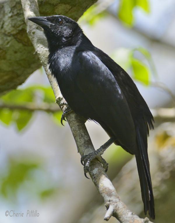 A male, Melodious Blackbird