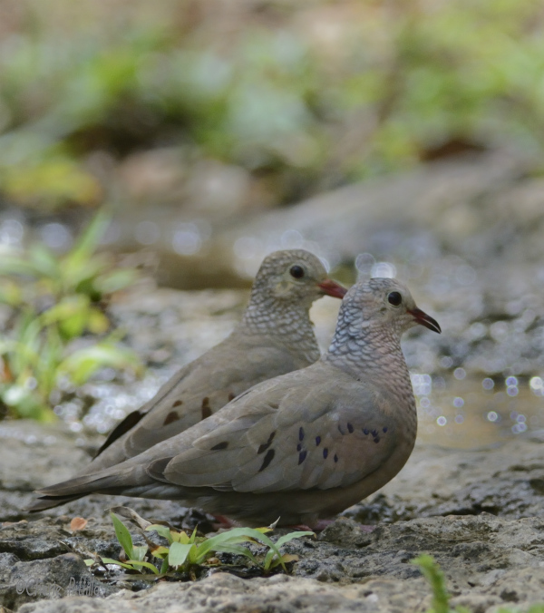 A pair of Common Ground-Doves