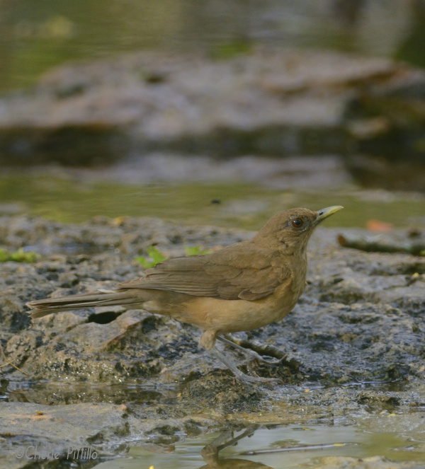 Commander of the Water, Clay-colored Thrush