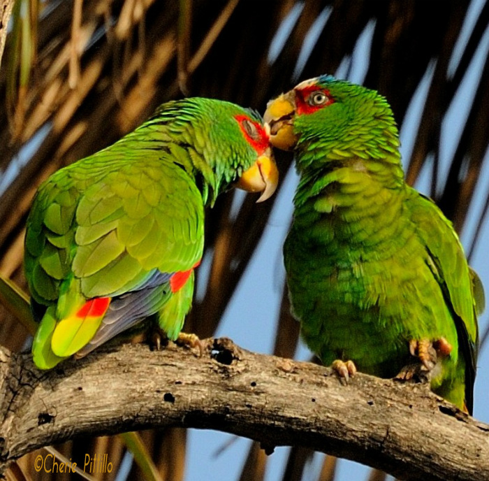 Female White-fronted Parrot uses feather dust to preen the male. Mutual grooming aids in social bonding.