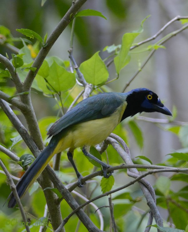 Green Jay alights above puddle
