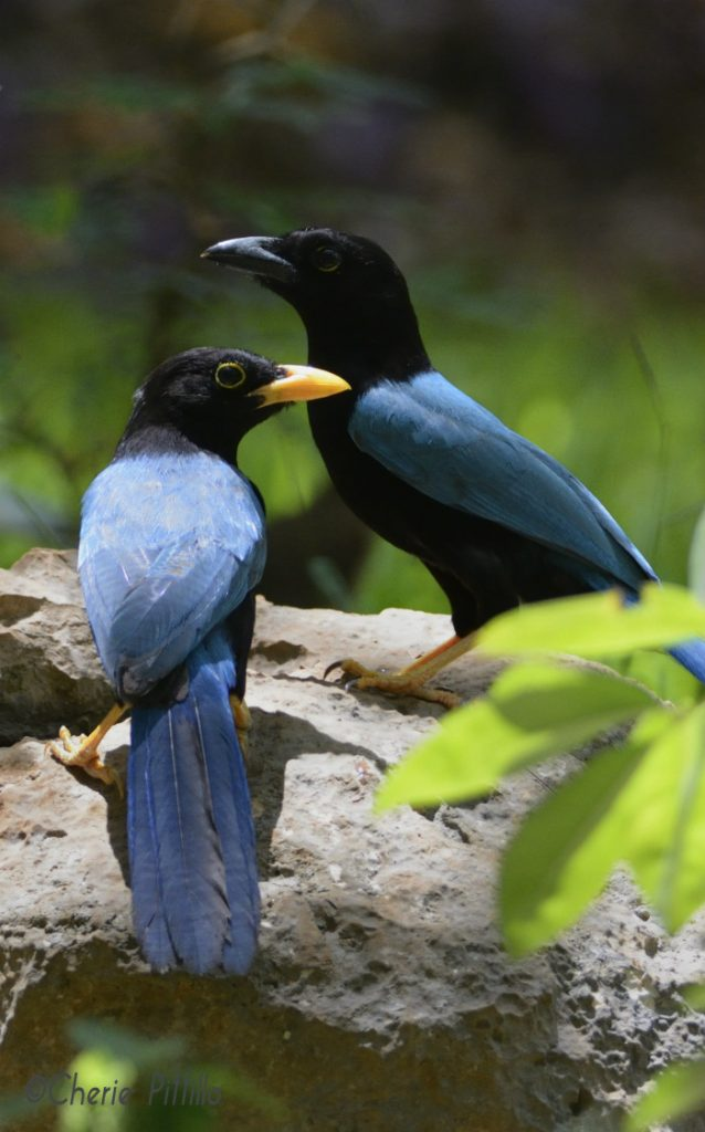 Immature Yucatan Jay looks left while adult looks right adjacent to waterhole