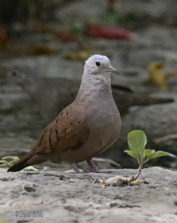 Male Ruddy Ground-Dove