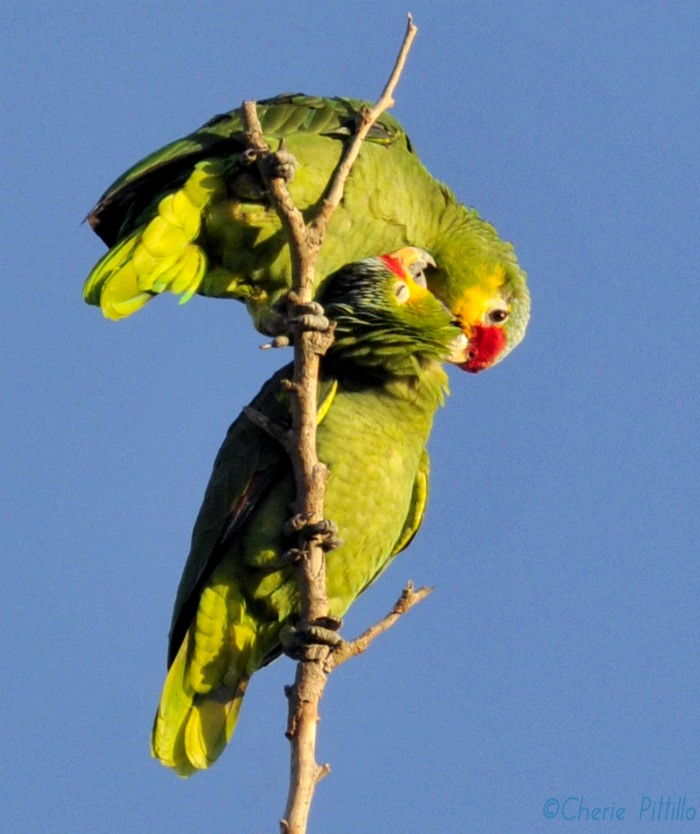 Red-lored Parrots use feather dust for preening. Mutual preening aids in social bonding