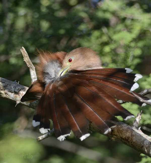 Squirrel Cuckoo squeezes preen gland for waxy substance to spread onto feathers