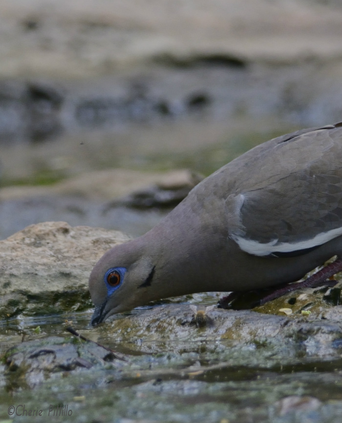White-winged dove drinks without lifting its head