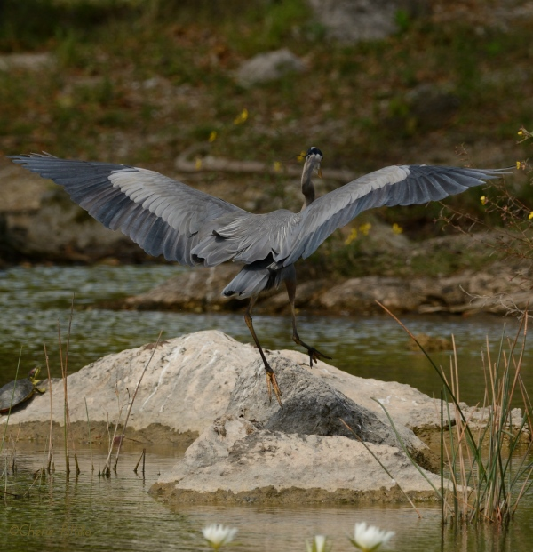 After it ate, the Great Blue Heron skipped up to top of rock to digest its prey