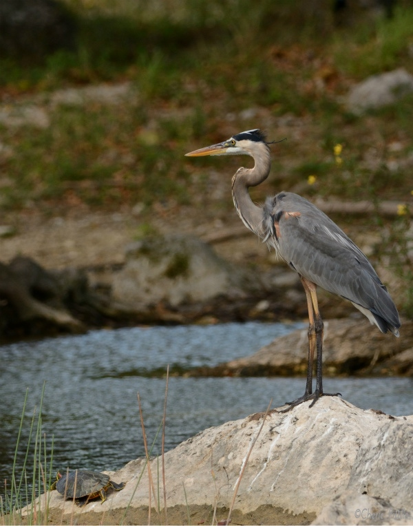 Both the turtle and heron seemed to gaze in the same direction The turtle watched all the meal maneuvers of the bird Perhaps they were friends who eat, prey, love