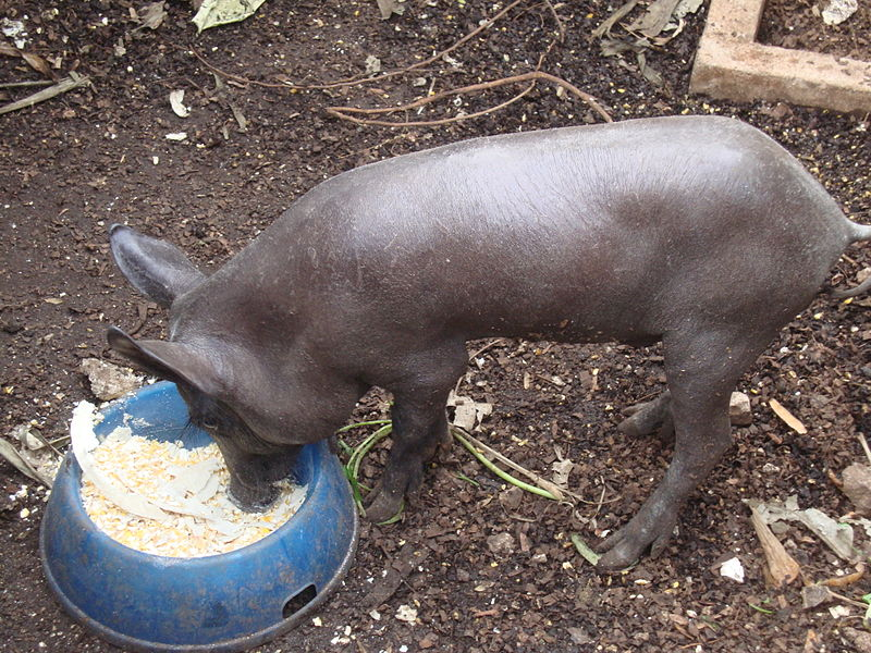 Cerdo_Pelón