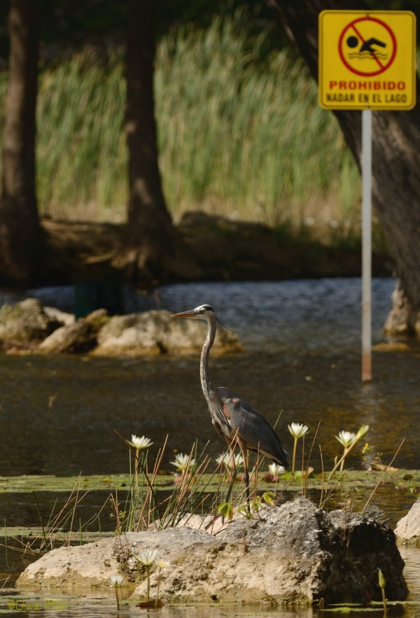 Great Blue Heron ignored no swimming sign