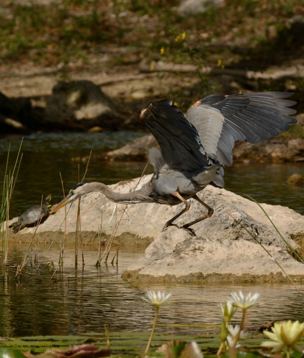 Great Blue Heron prepared to swim if necessary to grab prey
