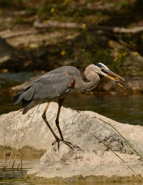 Great Blue Heron rearranged fish to swallow it head first