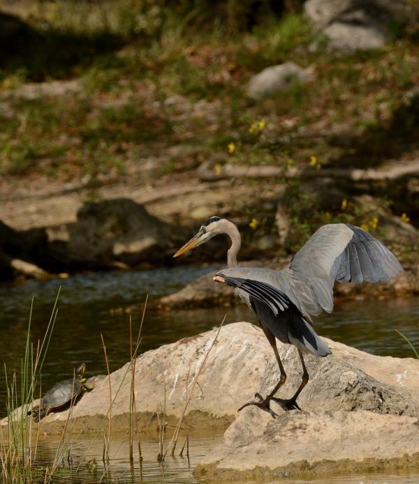 Great Blue Heron stalked prey