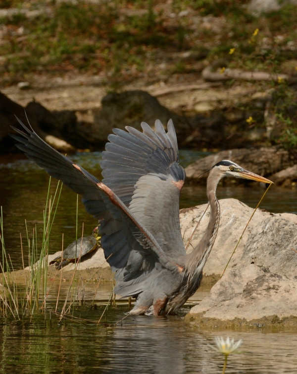 Great Blue Heron used it wings to escape water depth