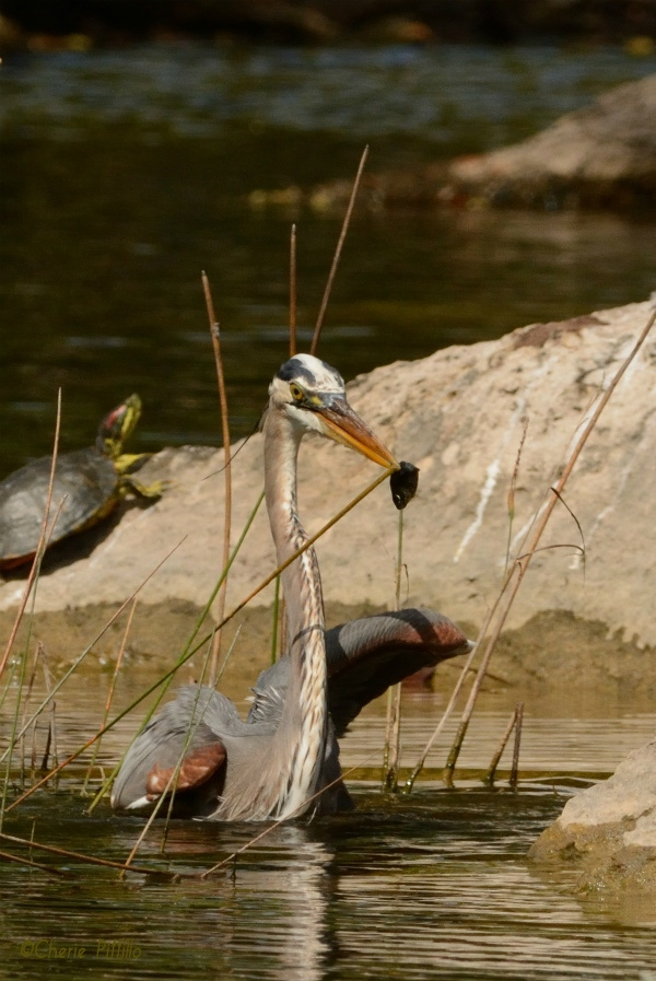 Great Blue Heron waded to a stable surface to dine on its catch