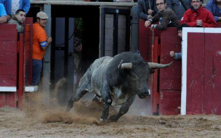 Toro de Lidia (Fighting Bull) EFE