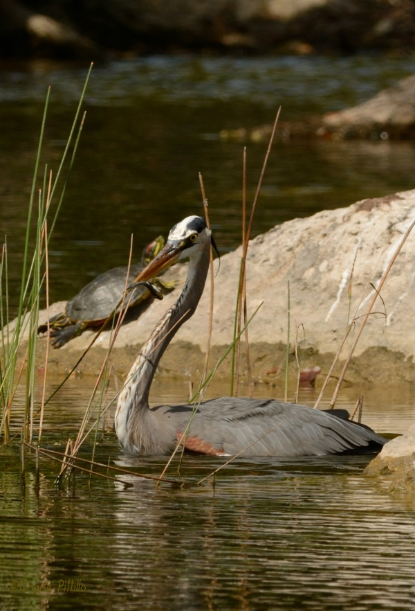 Success! Great Blue Heron plunged in water to gnab prey
