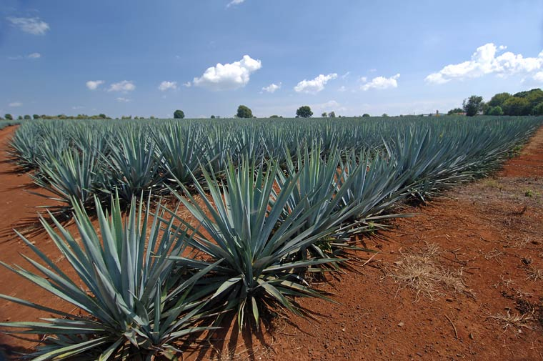 Blue Agave Plantation in Jalisco, Mexico (Google)