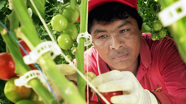 Canada is attracting an increasing number of migrant workers, like this Mexican national harvesting tomatoes (Photo: cbc.ca)