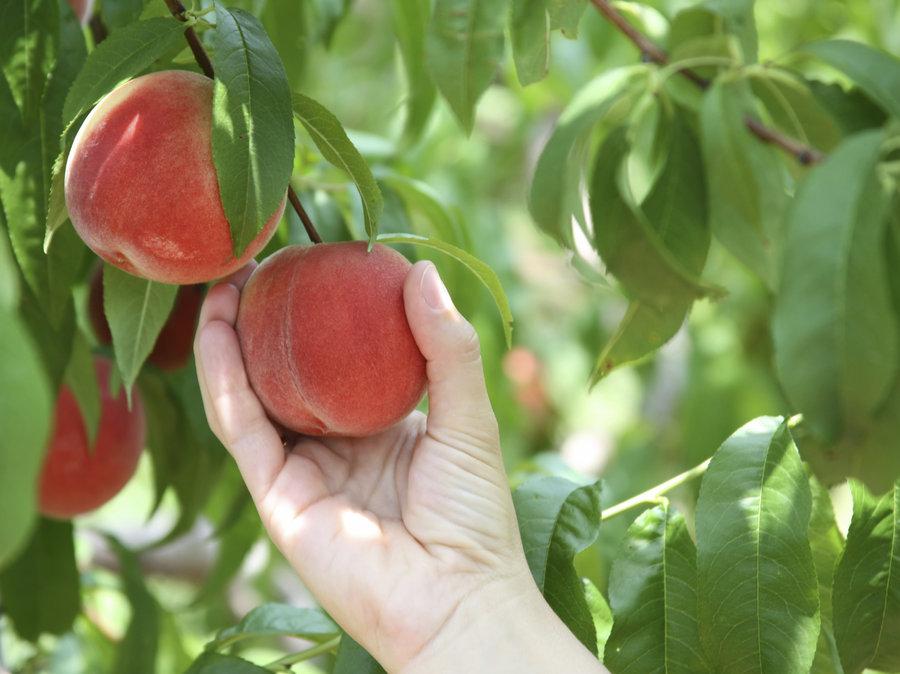 peachpicker