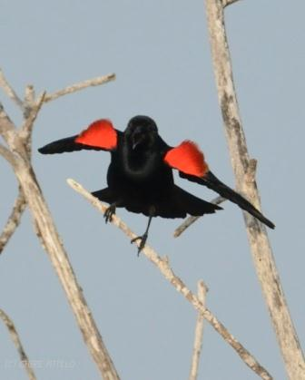 Brilliant red shoulder patches of the Red-winged Blackbird flash a warning to other males of his territory