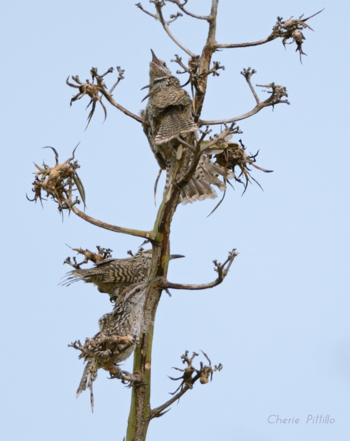 Family Group of Yucatan Wrens