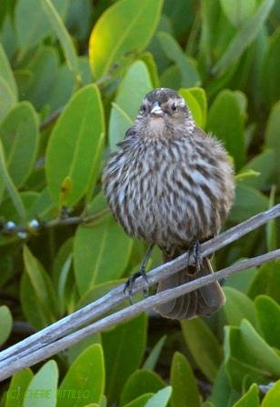 I think a female Red-winged Blackbird looks like a sparrow on steroids