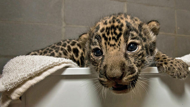 Jaguar Cub (Photo: Archive www.nbcsandiego.com)