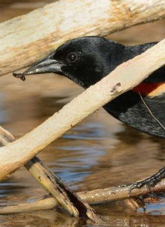 Male Red-winged Blackbird rewarded with insect grub