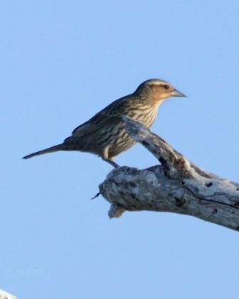 Normal-sized female Red-winged Blackbird