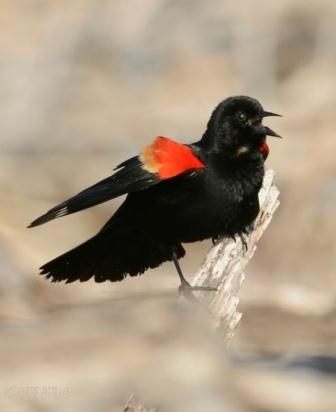 Raised epaulet of Red-winged Blackbird male