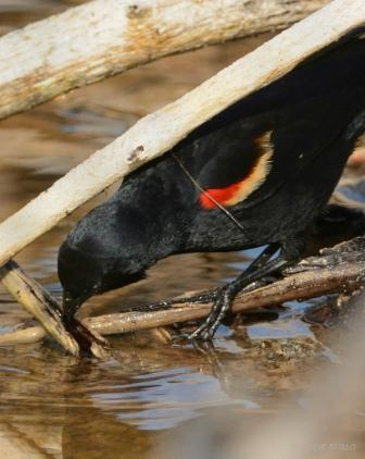 Red-winged Blackbird probes aquatic vegetation for insects and their larvae