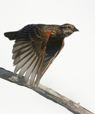 Reddish shoulder patches identify a young male Red-winged Blackbird