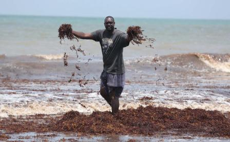 Tons of seaweed has fouled the beaches along Trinidad's east coast, the result of a natural phenomenon taking place thousands of miles away in the Sargasso Sea, in the North Atlantic (Photo: Google)