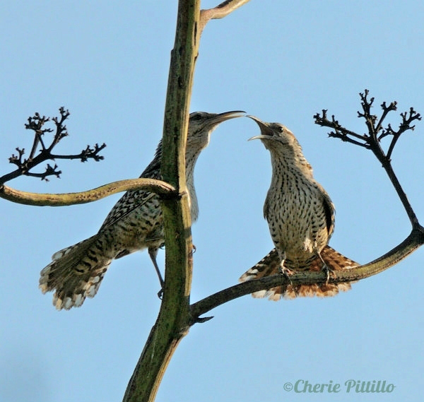 Two Yucatan Wrens vocalize