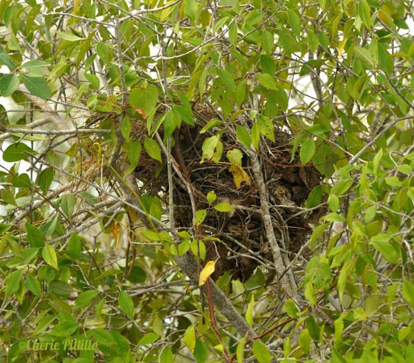 Yucatan Wren nest looks like an upside down boot