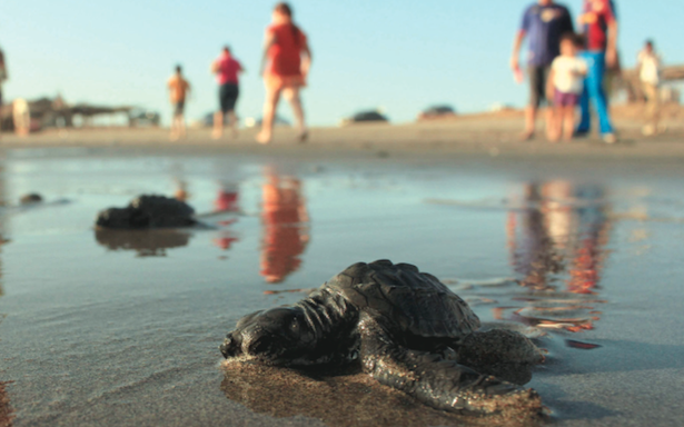 Baby lora turtles were released in Tamaulipas beaches this week. (PHOTO: THE NEWS)