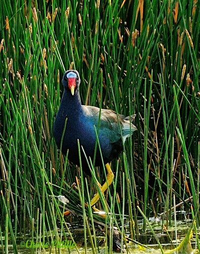 Purple Gallinule at marsh edge