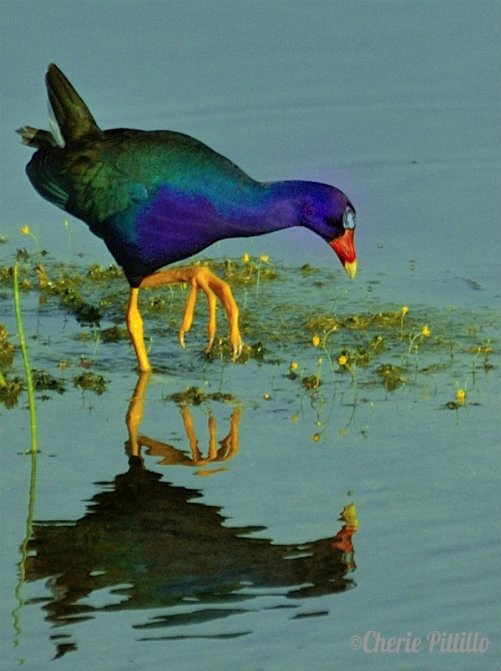 Purple Gallinule takes a bow