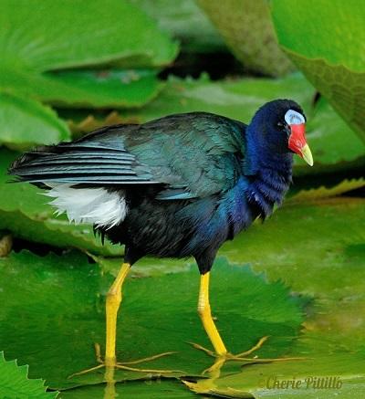 Purple Gallinule takes a break from preening wet  feathers.