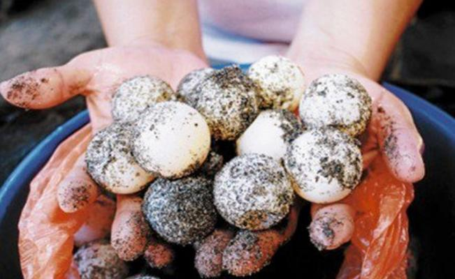 Sea Turtle Eggs (Photo: Quadratin Archive)